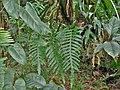 Phlebodium aureum ( Polypodiaceae ).jpg