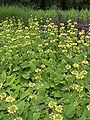 Phlomis russeliana001.jpg