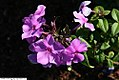 Phlox paniculata Blue Paradise 3zz.jpg