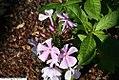 Phlox paniculata Franz Schubert 3zz.jpg