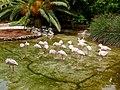 Phoenicopterus minor - flamingo - flamant - 05.jpg