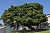 Photo 5 Treaty Tree. Cnr Treaty and Spring St, Woodstock. Cape Town..JPG