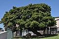 Photo 5 Treaty Tree. Cnr Treaty and Spring St, Woodstock. Cape Town..JPG