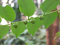 Phyllanthus juglandifolius0