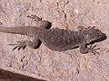 Phymaturus tenebrosus macho.jpg