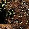 Physarum viride 103663606.jpg