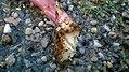 Phytolacca americana - stem base ripped off 05.jpg