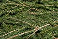 Picea abies20141229 1386.jpg