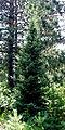 Picea mariana.jpg