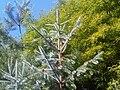 Picea sitchensis - London Wetland Centre.jpg
