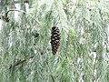 Picea smithiana 008.jpg