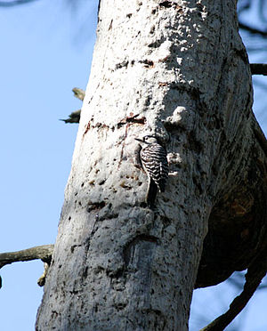 Red-cockaded woodpecker - Male at nest cavity in Longleaf Pine