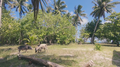 Pigs on Wallis island.png