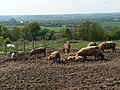 Pigs overlooking the Trent Valley - geograph.org.uk - 1049371.jpg