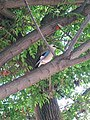 PikiWiki Israel 35042 Eurasian Jay.jpg