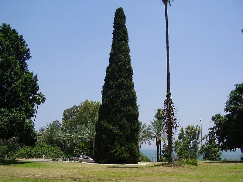 עץ המדינה בדגניה א'