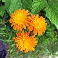 Pilosella aurantiaca 104025283.jpg