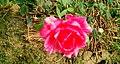 Pink Rose in Nepal.jpg