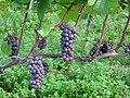 Pinot gris on the vine.jpg