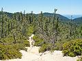 Pinus attenuata forest Big Basin State Park.jpg