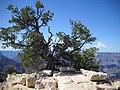 Pinus edulis oldtree.jpg