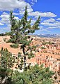 Pinus longaeva kz01.jpg