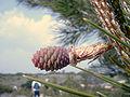 Pinus pinaster female.jpg