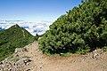 Pinus pumila 04.jpg