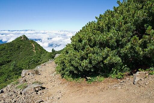 Pinus pumila 04