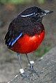 Pitta venusta-20030928.jpg
