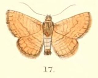 <i>Striglina</i> genus of insects