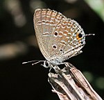 Plains cupid (chilades pandava) I IMG 0009.jpg