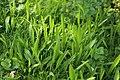 Plantago lanceolata (36039259483).jpg