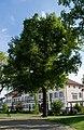 Platane bei Jahnhalle Edingen-Neckarhausen.jpg