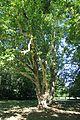 Platanus × hispanica 3655.jpg