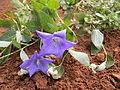Platycodon grandiflorus - twin flowers.JPG