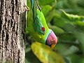 Plum Headed Parakeet IMG 3393.jpg