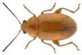 Podagrica decolorata Duvivier, 1892.png