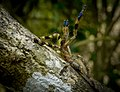 Poecilotheria fasciata (Lemon Legged Tiger Spider) endemic to Sri Lanka.jpg