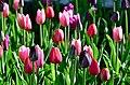 Poertschach Blumenstrand vor Parkhotel Tulpenbeet 28042013 126.jpg