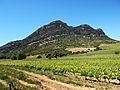 Poggio-d'Oletta vignes dans la plaine.jpg