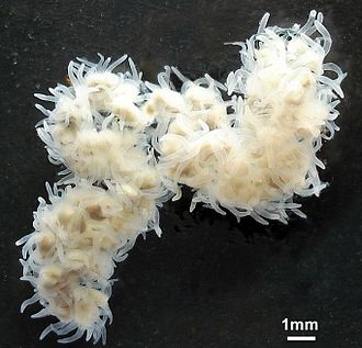 Stolon - The Cnidarian fish parasite Polypodium hydriforme has a stolon stage of interconnected medusoids