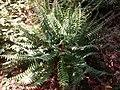 Polystichum acrostichoides at Coker Arboretum.jpg