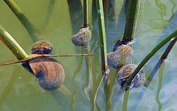 Des ampullaires Pomacea insularum, dans leur milieu naturel, sur des tiges de jonc