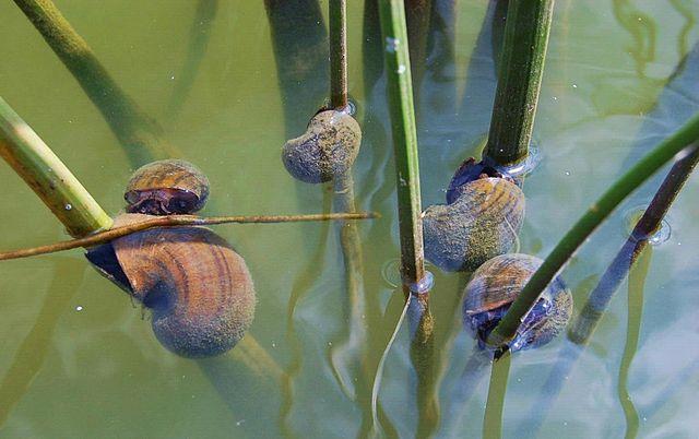 Caracol manzana (Pomacea insularum) eating Soft-stemmed Rush Juncus effusus.