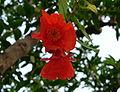 Pomegranate flowers.JPG