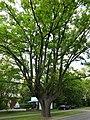Pomnikowy dąb warszawa 1 sierpnia 40 3.JPG