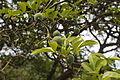 Poncirus trifoliata 03.JPG
