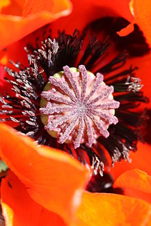 Poppy wiktionary the heart of a poppy flower mightylinksfo