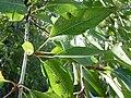 Populus angustifolia × balsamifera (5001213433).jpg